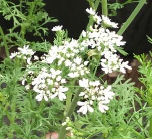 パクチーの白い花
